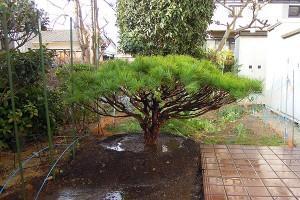タギョウショウ 樹形