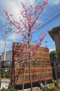 ヨコハマヒザクラ 樹形